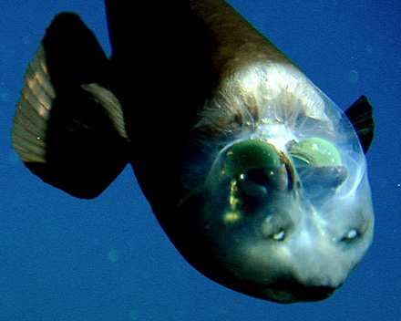 fish-transparent-head-barreleye-pictures_big2.jpg
